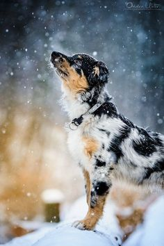 Snow Pup. puppies, anim, winter, australian shepherds, blue, flake, snow, dog photography, cattle dogs