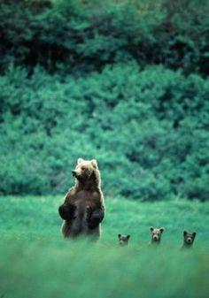 Bears bears bears bears bears