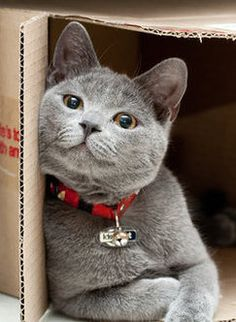 gray kitti, cats in boxes, cardboard boxes, gray cat, cats boxes, cat in box, british shorthair, solv everyth, cat in a box