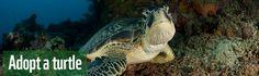 Adopt an endangered turtle