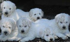 komondor pups