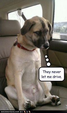 They never let me drive. dog-lols