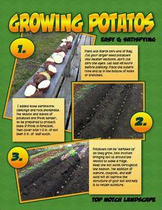 Growing potatos