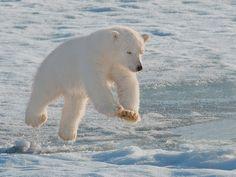 Polar bear cub leaping