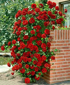 Climbing Rose Santana® | Roses from Spalding Bulb