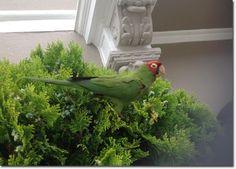 Wild Parrots of San Francisco's Richmond District: