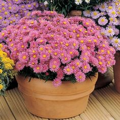 Aster Wood's Pink    Height8-12 inches tall  Spread18 inches wide    Deer Resistant, Hummingbirds & Butterflies, Containers, Cut Flowers, Borders, Showy Flowers, Pest / Disease Resistant