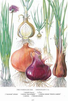 #retroscan onion garlic botanical print vintage