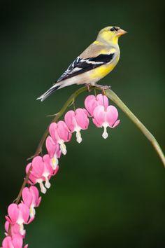 Goldfinch on bleeding heart