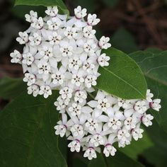 Redring Milkweed (Asclepias variegata) is a pretty white-blooming milkweed that gets its name from the contrasting purple rings around each flower.
