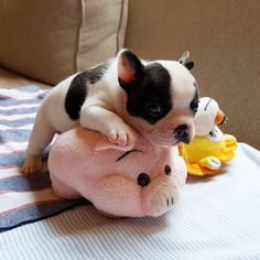 Two little piglets c
