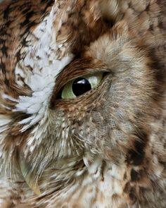 screech owl eye