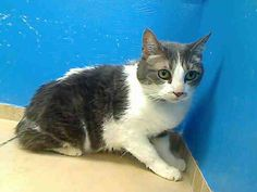 ***DESTINY HAS BEEN GIVEN A SECOND CHANCE!! PLEASE LET IT COUNT!!*** 10 year old Destiny needs out of NYCACC NOW!!! TO BE DESTROYED 6/13/13 Brooklyn Center  My name is DESTINY. My Animal ID # is A0967393. I am a spayed female gray and white domestic sh mix. The shelter thinks I am about 4 YEARS old.  I came in the shelter as a OWNER SUR on 06/04/2013 from NY 11357, owner surrender reason stated was ALLERGIES.