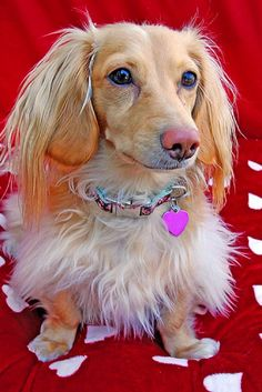 beautiful cream dachshund