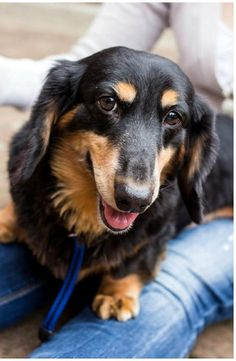 Thunder - SC is a long hair black and tan dachshund available for adoption with Furever Dachshund Rescue