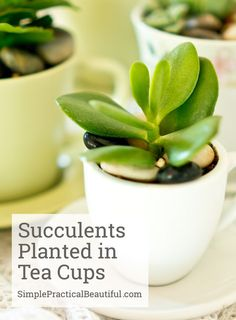 How to plant succule