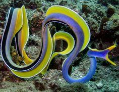 The Blue Ribbon Eel