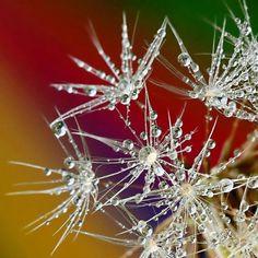 The delicate dew