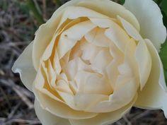 Cream colored David Austin rose.