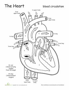 free printable coloring page and diagram that tracks blood flow through the heart