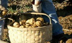 Potato farming is a way of life in Aroostook County.  I've picked my share of potatoes in my lifetime.
