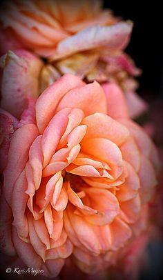 Rose ❥