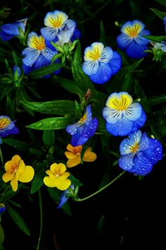 Pretty Little Blue & Yellow Pansies