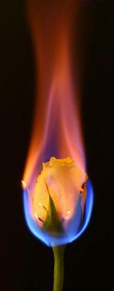 ♥ burning rose