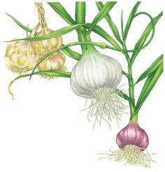 All About Growing Garlic - Organic Gardening - MOTHER EARTH NEWS