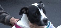 Pit Bull Saves PA Family From Fire