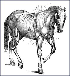 Horses Anatomy Physiology