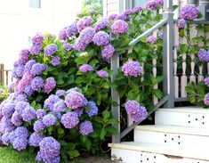 Why can't hydrangeas naturally grow to be this beautiful? Maybe in heaven this will be how all of the plants grow. Only God knows. :)