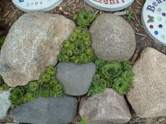 Hens and chicks in between stepping stones