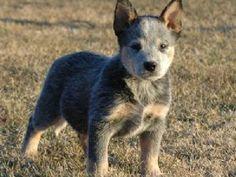 Australian Cattle Dog. super cute.