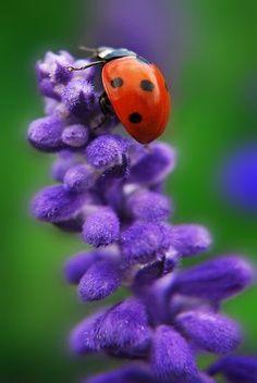 Macro bird, blue flowers, beetl, color, purple flowers, ladybug, insect, garden, ladi bug