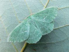pale mint green, moth