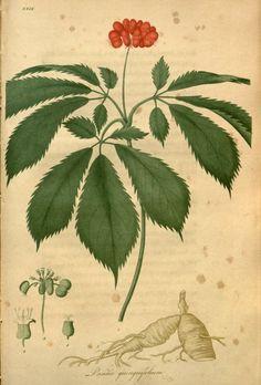 Panax quinquefolius L. J. Bigelow, American medical botany, vol. 2, t. 29 (0)