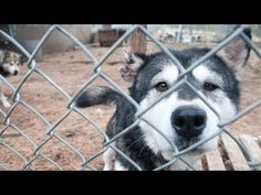 There are still puppy mills around there. Instead of buying a pet, ADOPT a rescue Malamute.   Operation Montana Malamute Rescue