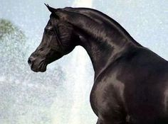 Simeon Sadik (Asfour x Simeon Safanad) A 1989 Arabian stallion who has had multiple halter wins in Europe.