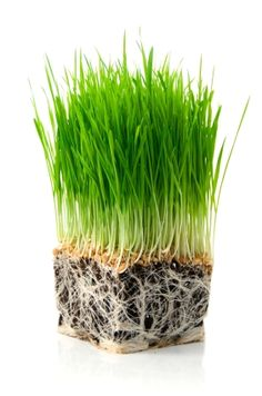 Wheatgrass -It increases red blood-cell count and lowers blood pressure. It cleanses the blood, organs and gastrointestinal tract of debris.