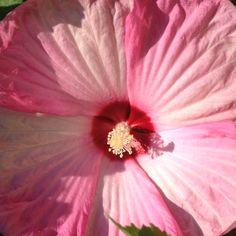 Pink Swirl Hibiscus (Hardy)
