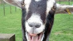 Screaming Goats.  Funny!