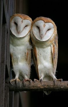 pretty pair of barn owls  WE  STICK  TOGETHER