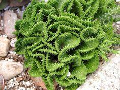 Rare Euphorbia flanaganii cristata- (Green Coral Euphorbia)