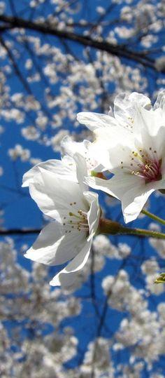 Cherry Blossoms via Flowers Garden Love