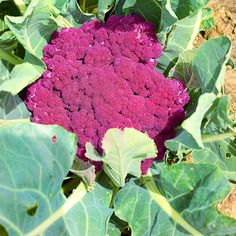 Grow your own cauliflower! More grow colorful vegetables: http://www.bhg.com/gardening/vegetable/vegetables/grow-colorful-vegetables/?socsrc=bhgpin081913cauliflower=6