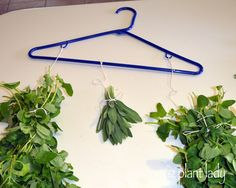 drying herbs Part. 1