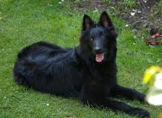 Belgian Shepherd (Groenendael) I want one!