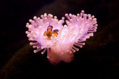 Anenome & clown fish NEMO