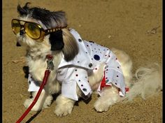 Nikko dressed as 'Elvis' attends during the 22nd Annual Tompkins Square Halloween Dog Parade in New York on October 20, 2012. The parade of masquerading dogs is the largest Halloween Dog Parade in the US.  Credit: TIMOTHY A. CLARY/AFP/Getty Images